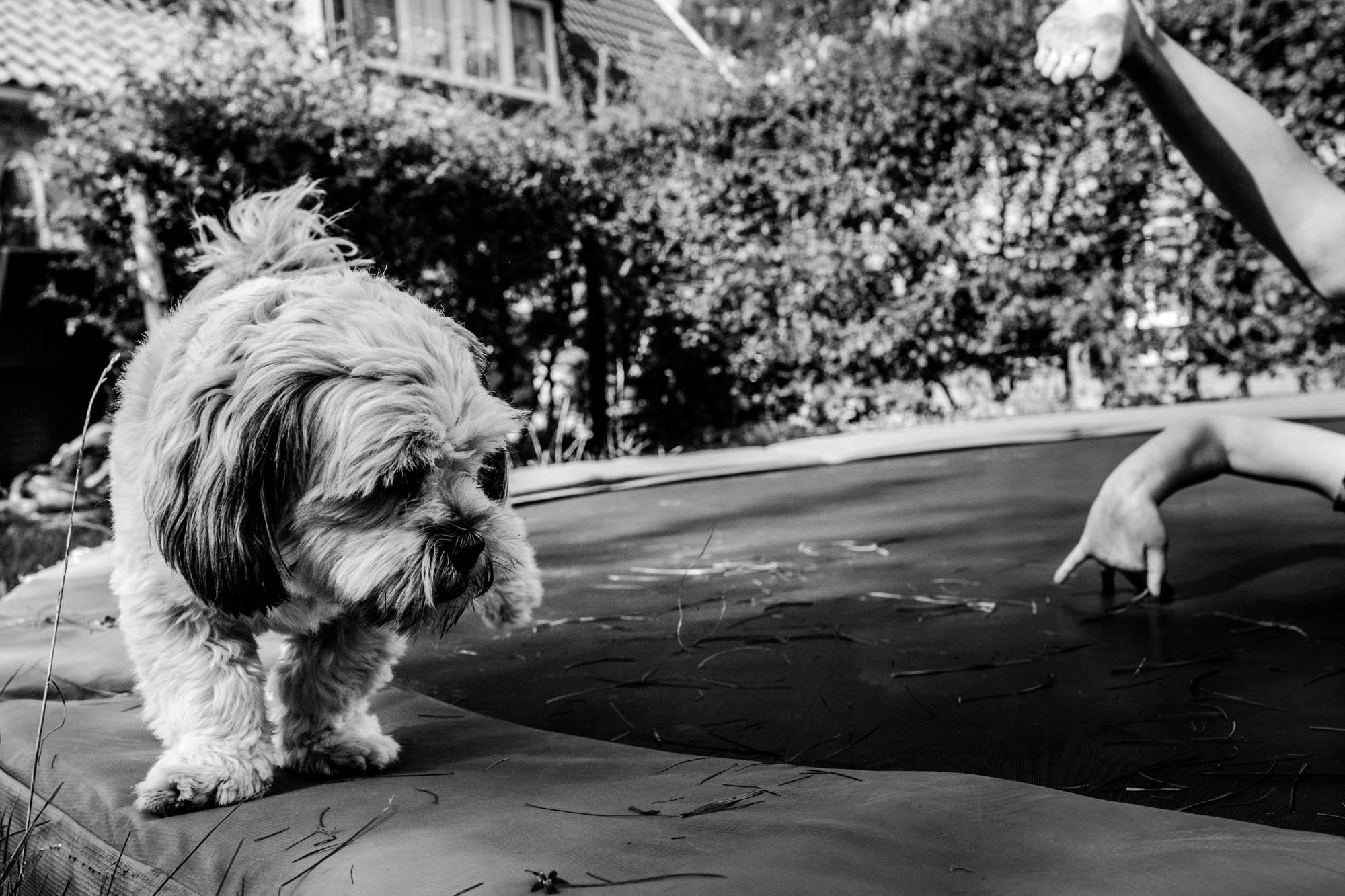 hondje loopt op trampoline